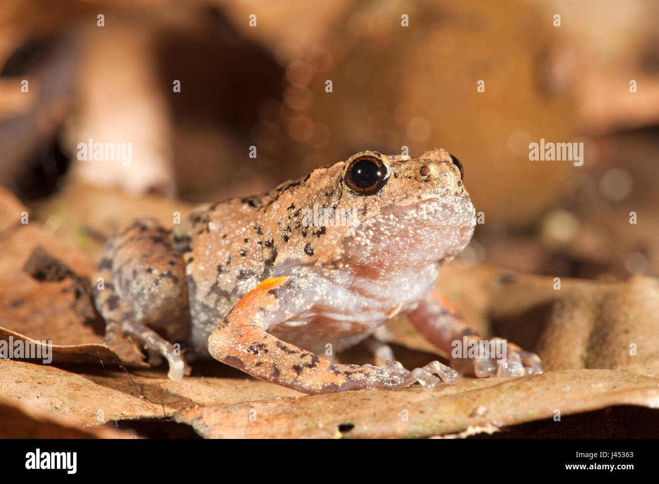 Photo of a tree hole frog, they lay their eggs in tree holes, males call from tree holes so the females can locate - Stock Image