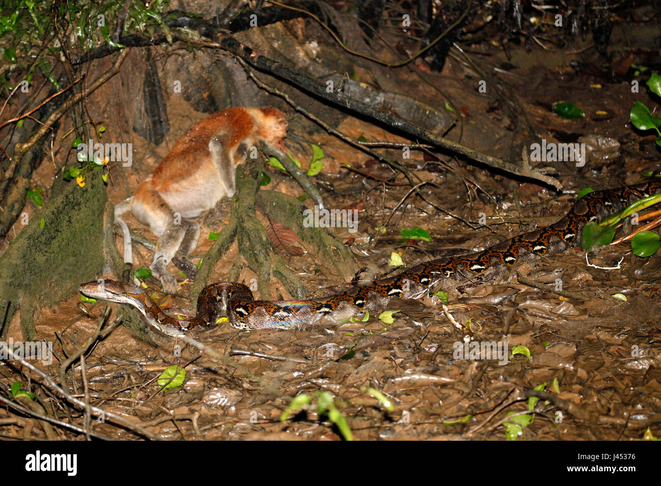 Photo of a enormous Reticulated python with a proboscis monkey as its prey - Stock Image