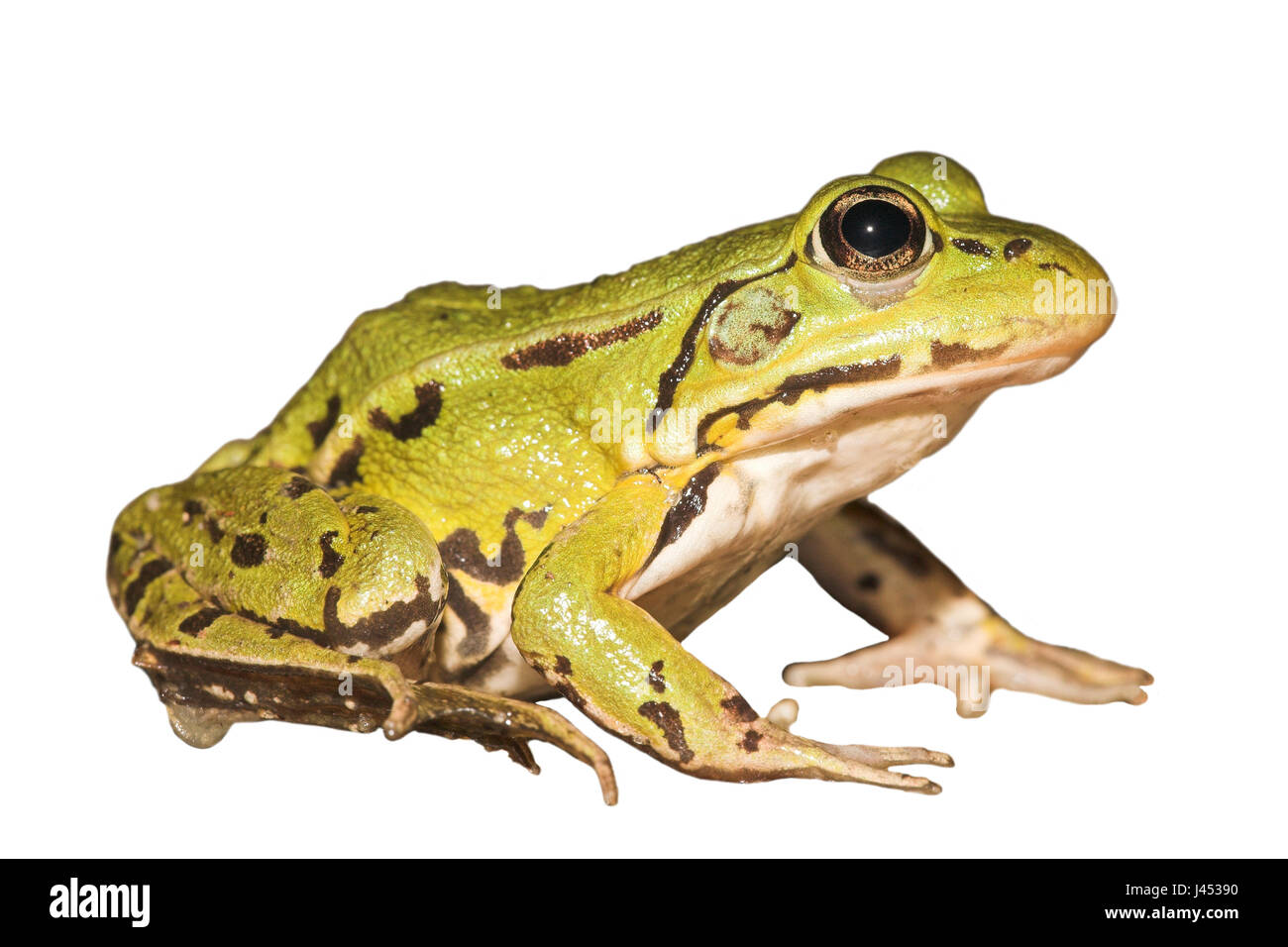 Pool frog against a white background (rendered) - Stock Image