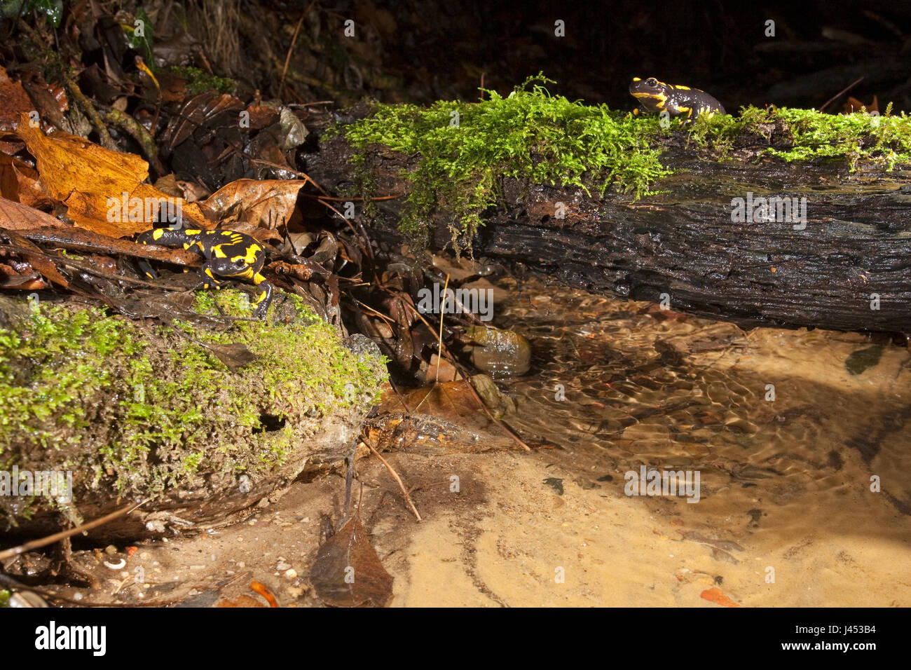 Overview of two firesalamanders in their environment along a stream - Stock Image