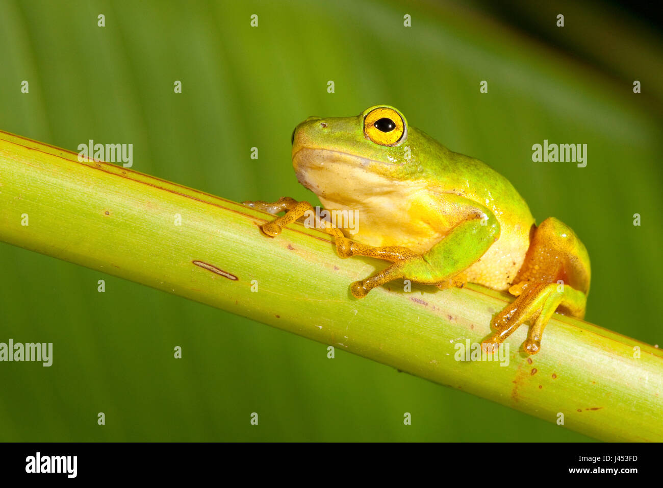 Photo of a Tinker Reed frog - Stock Image