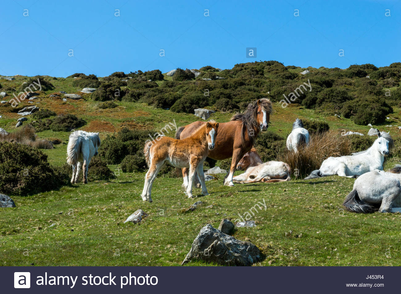 Carneddau Ponies lazing in the sun - Stock Image