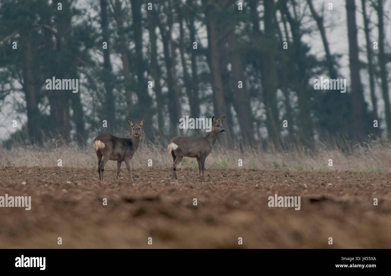 A pair of Roe Deer -Capreolus capreolus, Spring. Uk - Stock Image