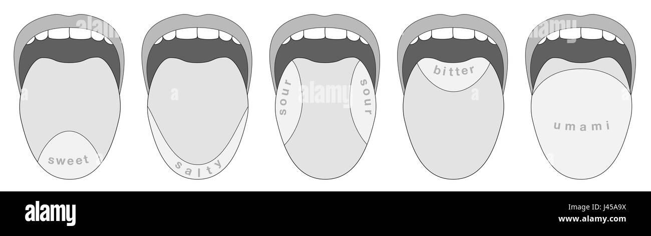 Unami Tongue Taste Receptor Diagram Tongue Taste Regions Wire Diagrams