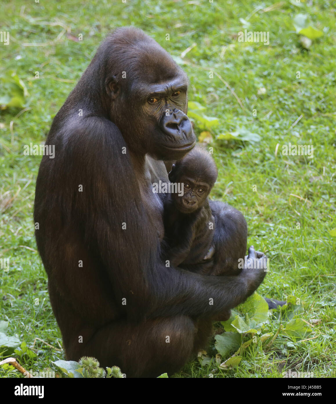 gorilla mother with her baby hominidae stock photo 140260265 alamy