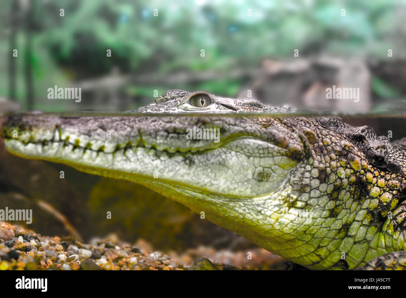picture of a young crocodile staring out of the water Stock Photo