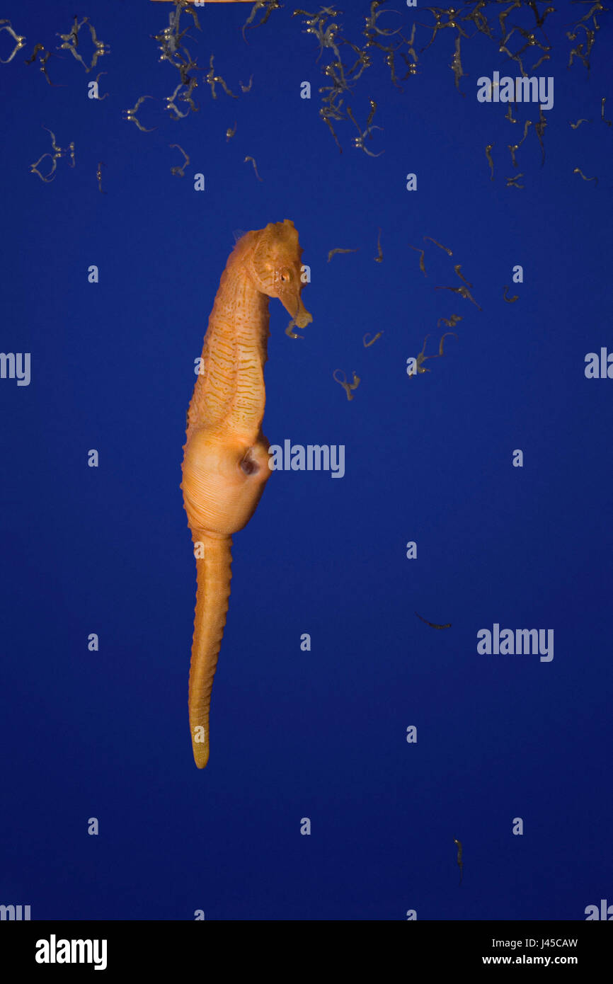 lined seahorse, spotted seahorse, or northern seahorse, ( Hippocampus erectus ) male giving birth ( expelling fry - Stock Image