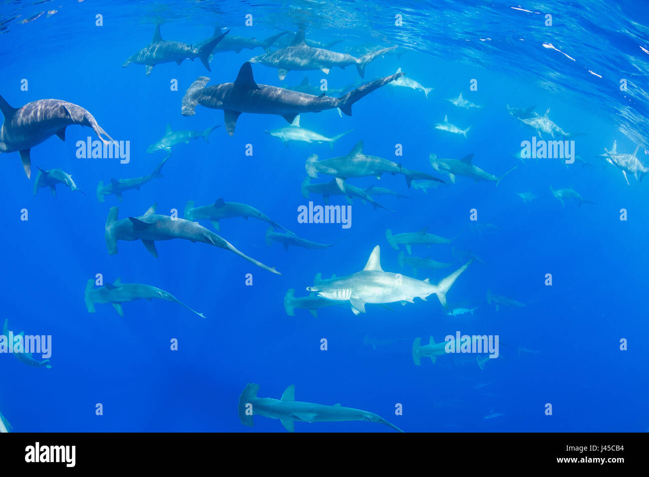 schooling female scalloped hammerhead sharks, Sphyrna lewini, off Keauhou, South Kona, Big Island, Hawaii, USA ( - Stock Image
