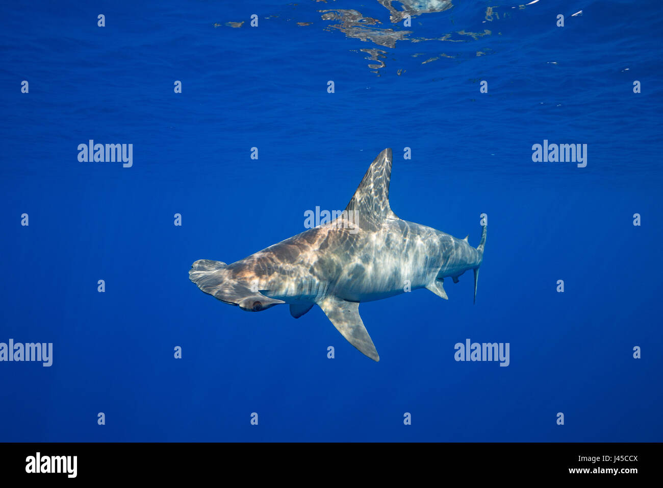 female scalloped hammerhead shark, Sphyrna lewini, off Keauhou, South Kona, Big Island, Hawaii, USA ( Central Pacific - Stock Image