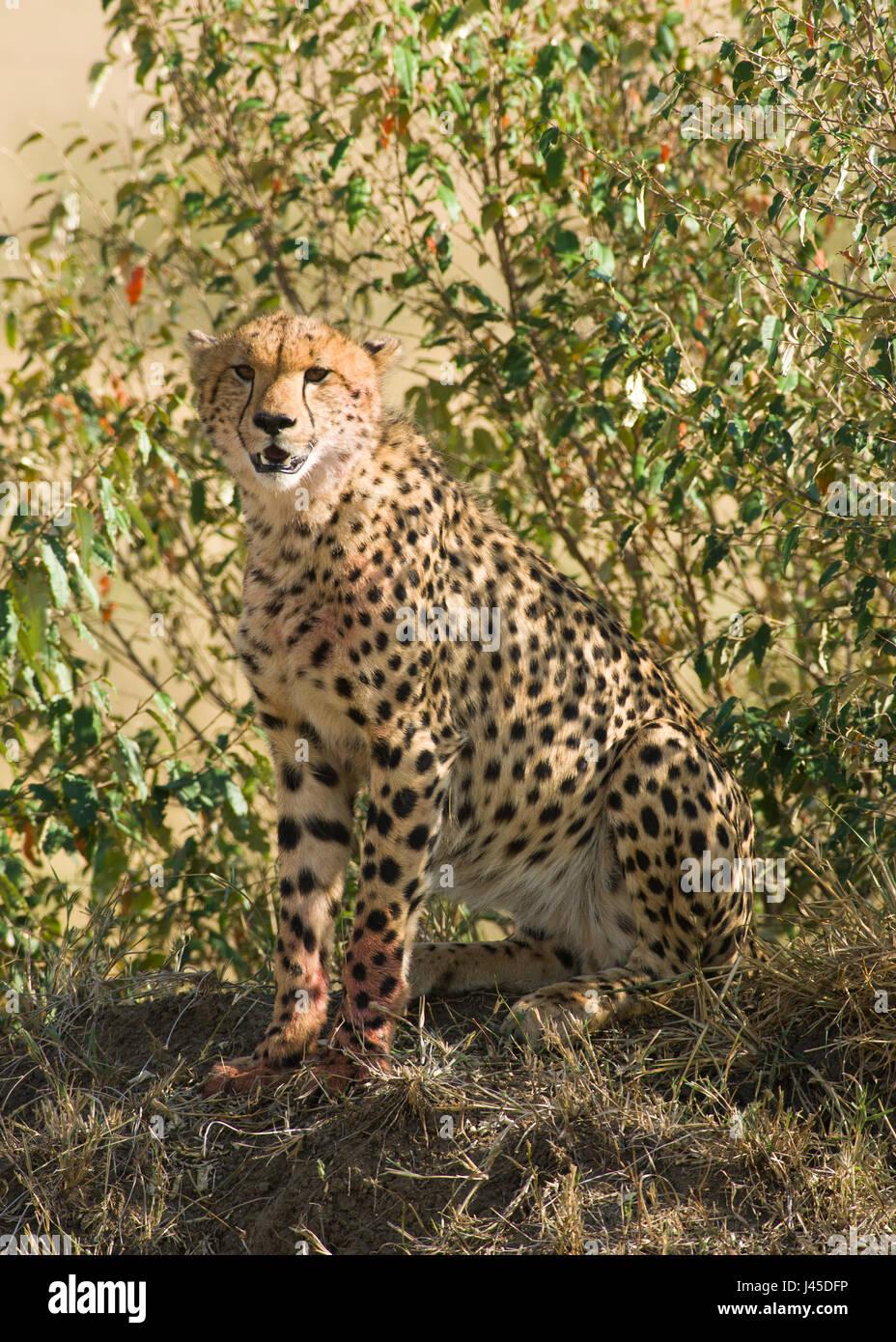 Cheetah (Acinonyx jubatus) Sitting on Mound, Maasai Mara, Kenya Stock Photo