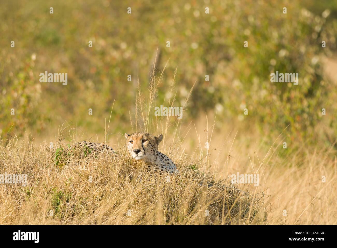 Cheetah (Acinonyx jubatus) Resting on Mound, Maasai Mara, Kenya Stock Photo