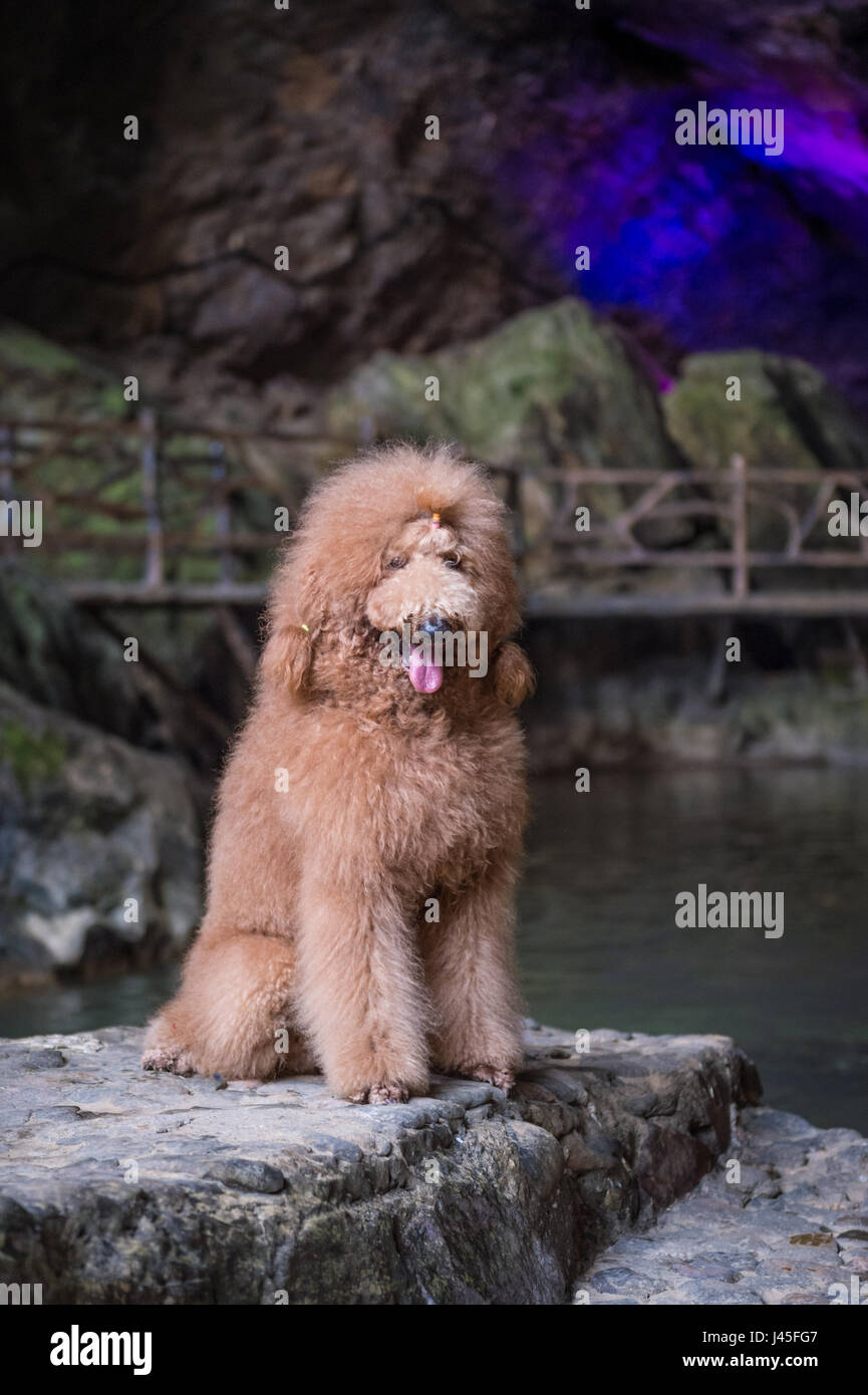 The lovely Brown poodles - Stock Image