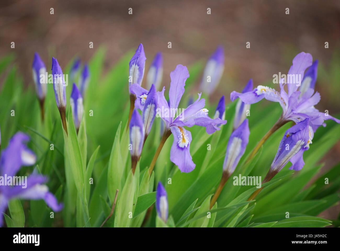 Flowering purple siberian iris flowers blooming in a garden stock flowering purple siberian iris flowers blooming in a garden izmirmasajfo