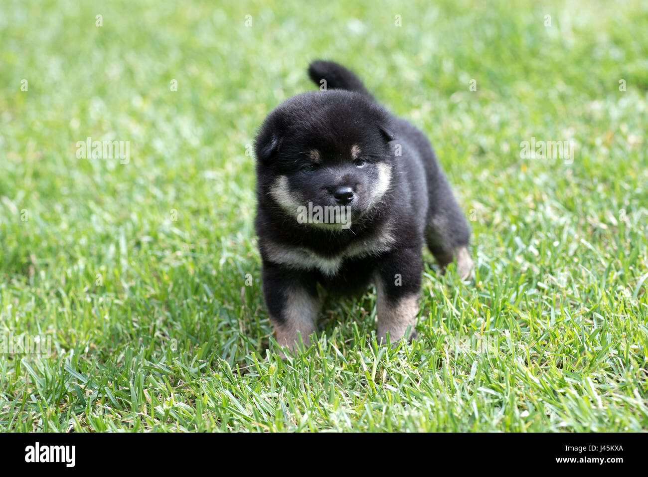 Portrait of cute tan shiba inu puppy dog on green grass - Stock Image