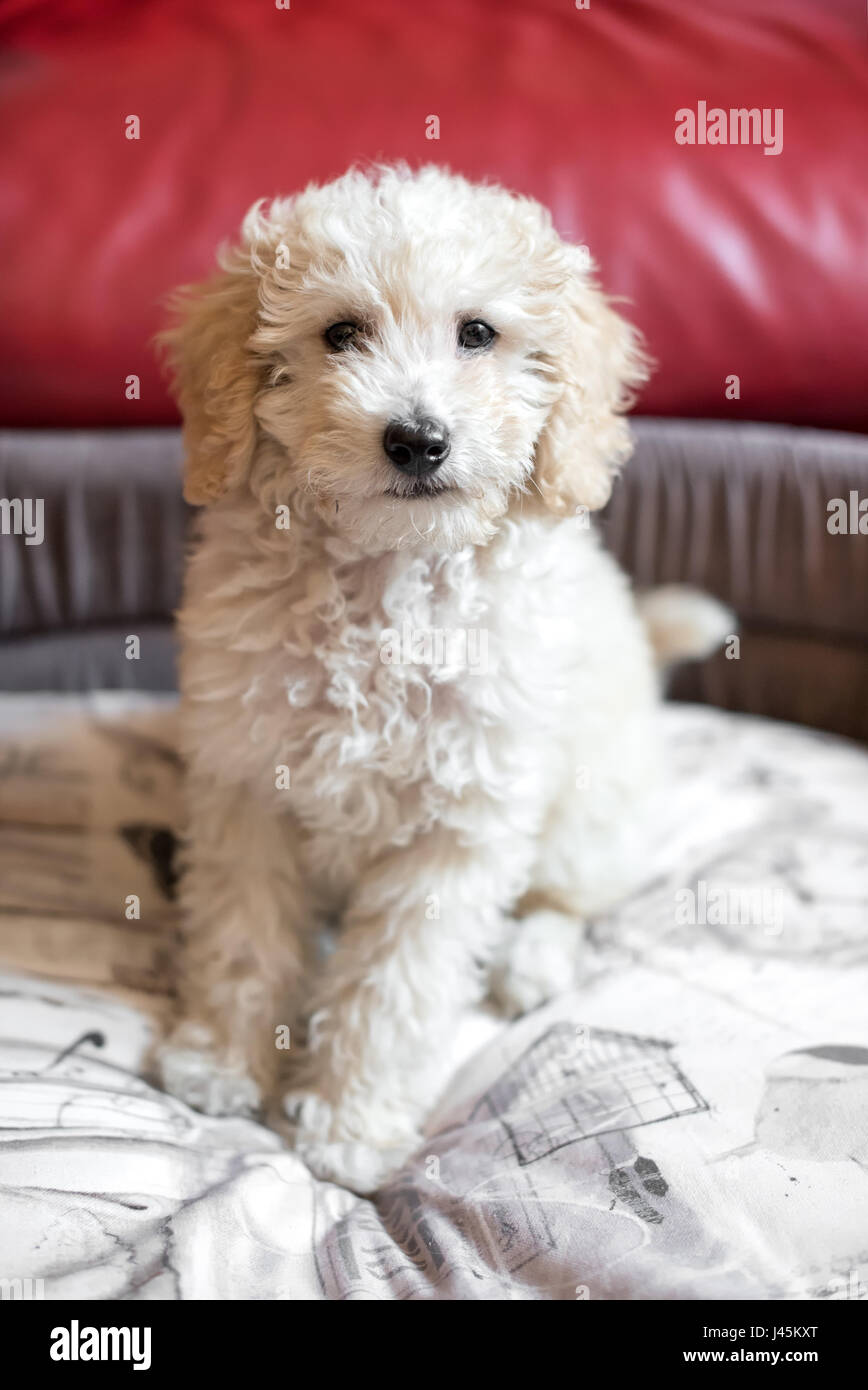 Cute shaggy little cream toy poodle puppy sitting on a comfy bed indoors facing the camera with a curious stare - Stock Image