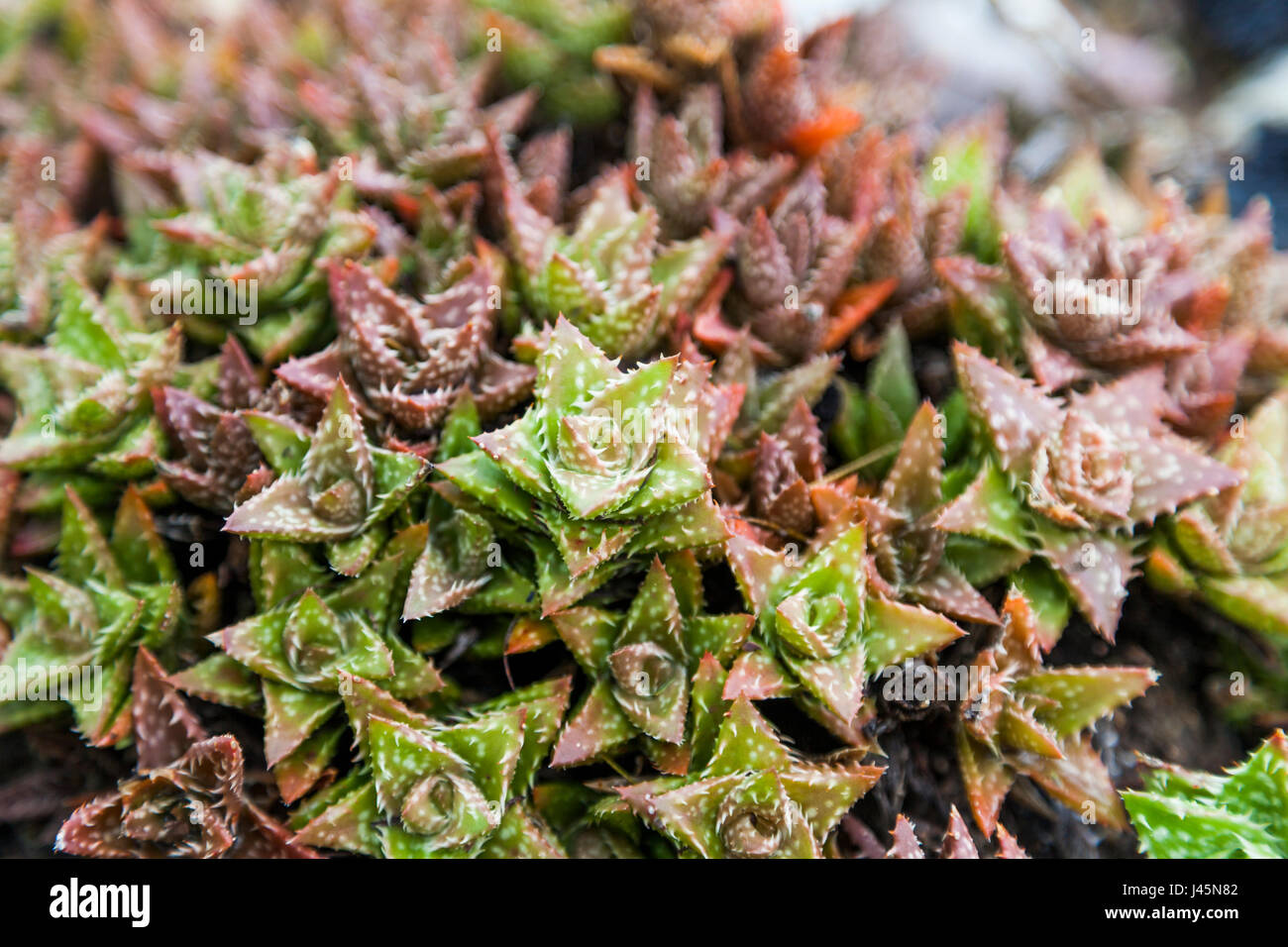 Close-up of colorful succulents. - Stock Image