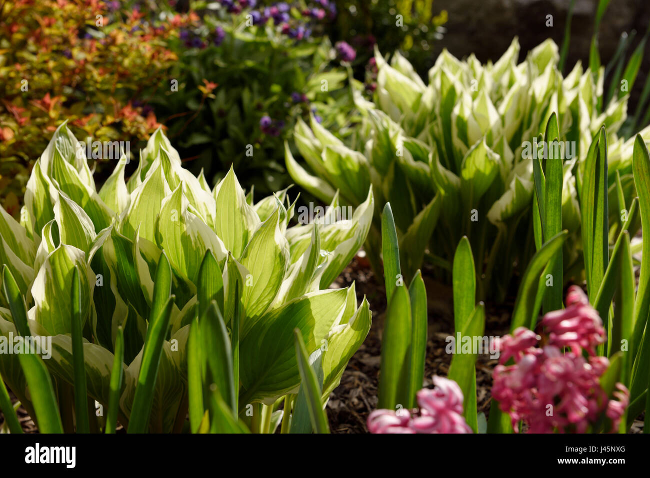 Green And White Hosta Leaves Emerging In A Spring Garden With Pink