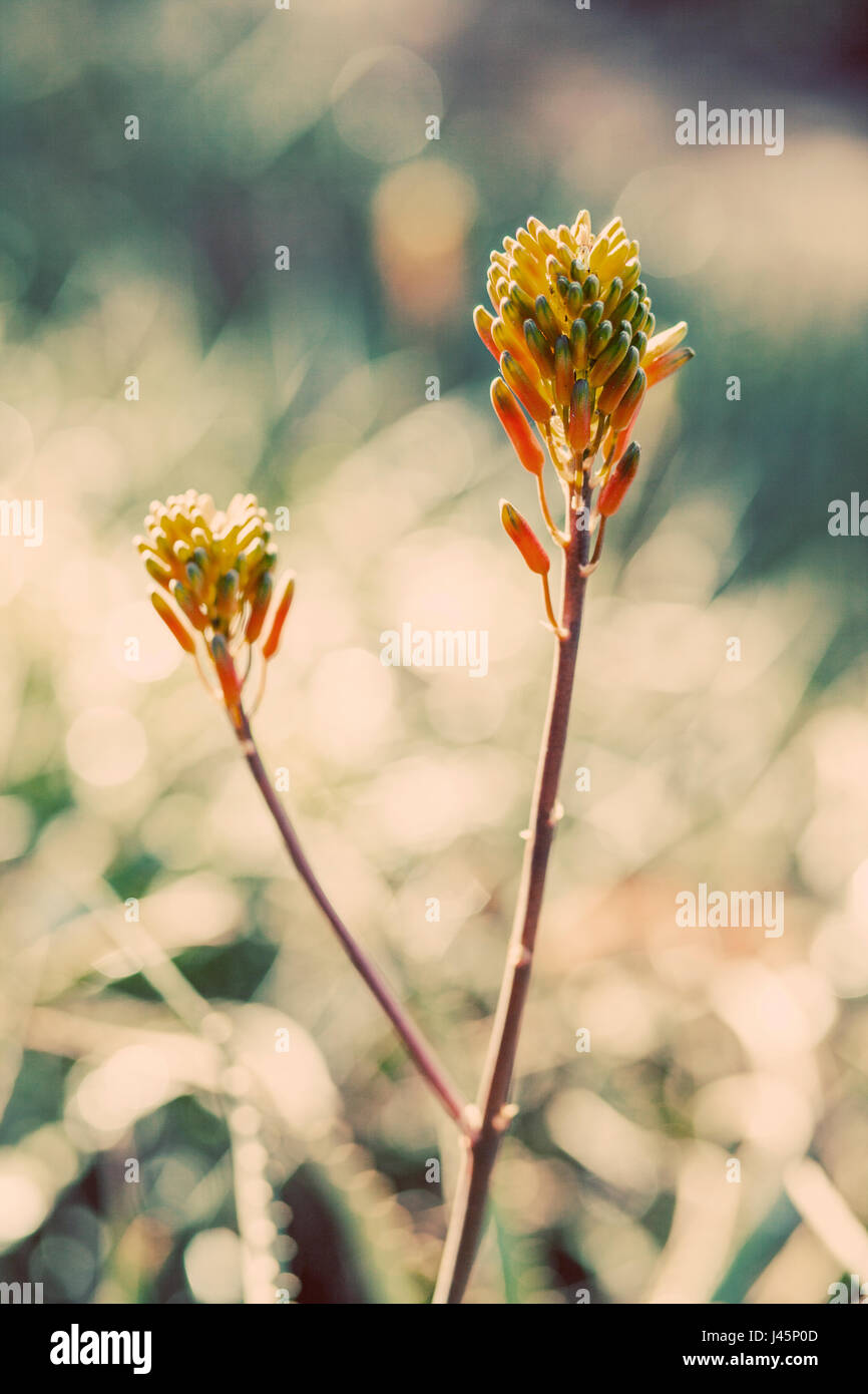 Summer succulents glow in the morning sun. - Stock Image