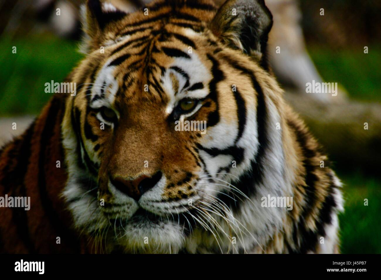 Tiger headshots - Stock Image