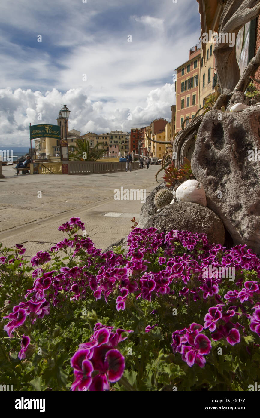 View of the waterfront promenade at Camogli over a cluster of pretty purple spring flowers, a fishing village and - Stock Image