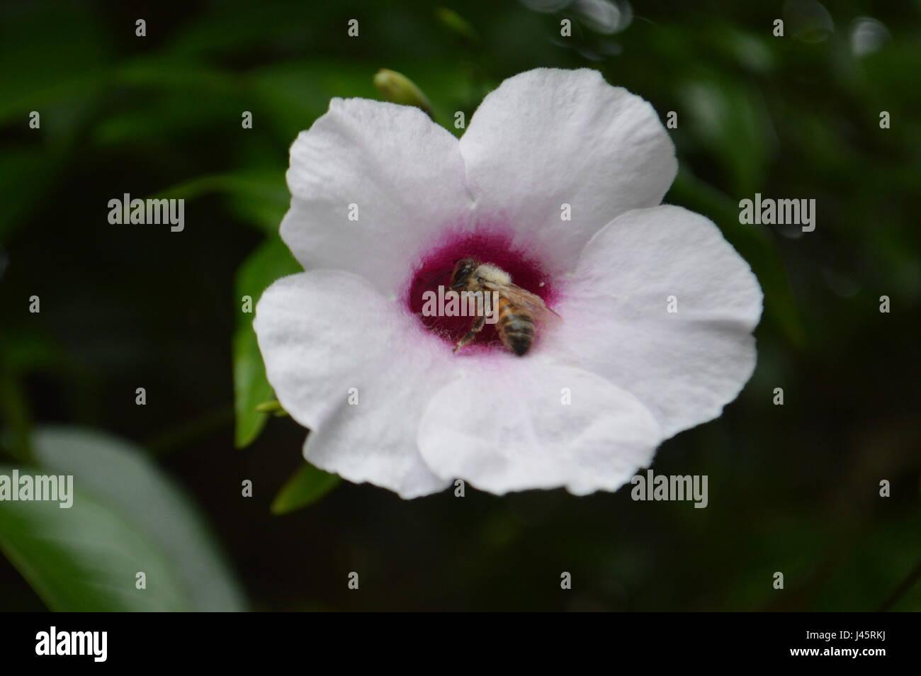 Honey Bee on Flower - Stock Image