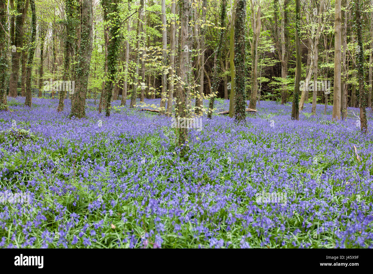 Warrenpoint, Couny Down, Northern Ireland 22 April 2017. Carpet of Bluebells in full bloom in a wood Stock Photo