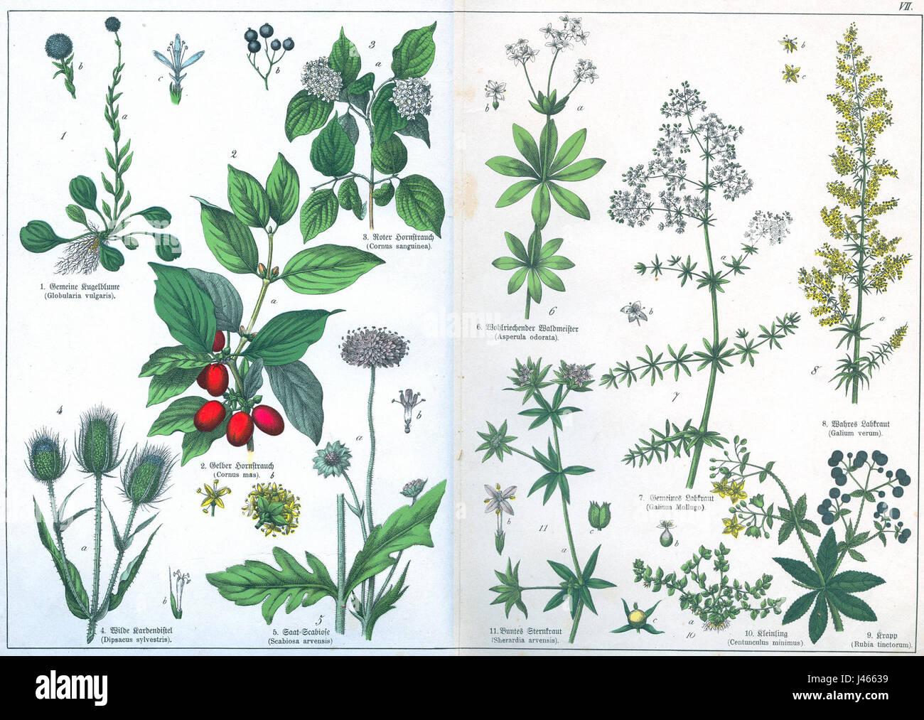 Naturgeschichte des Pflanzenreich Tafel VII - Stock Image