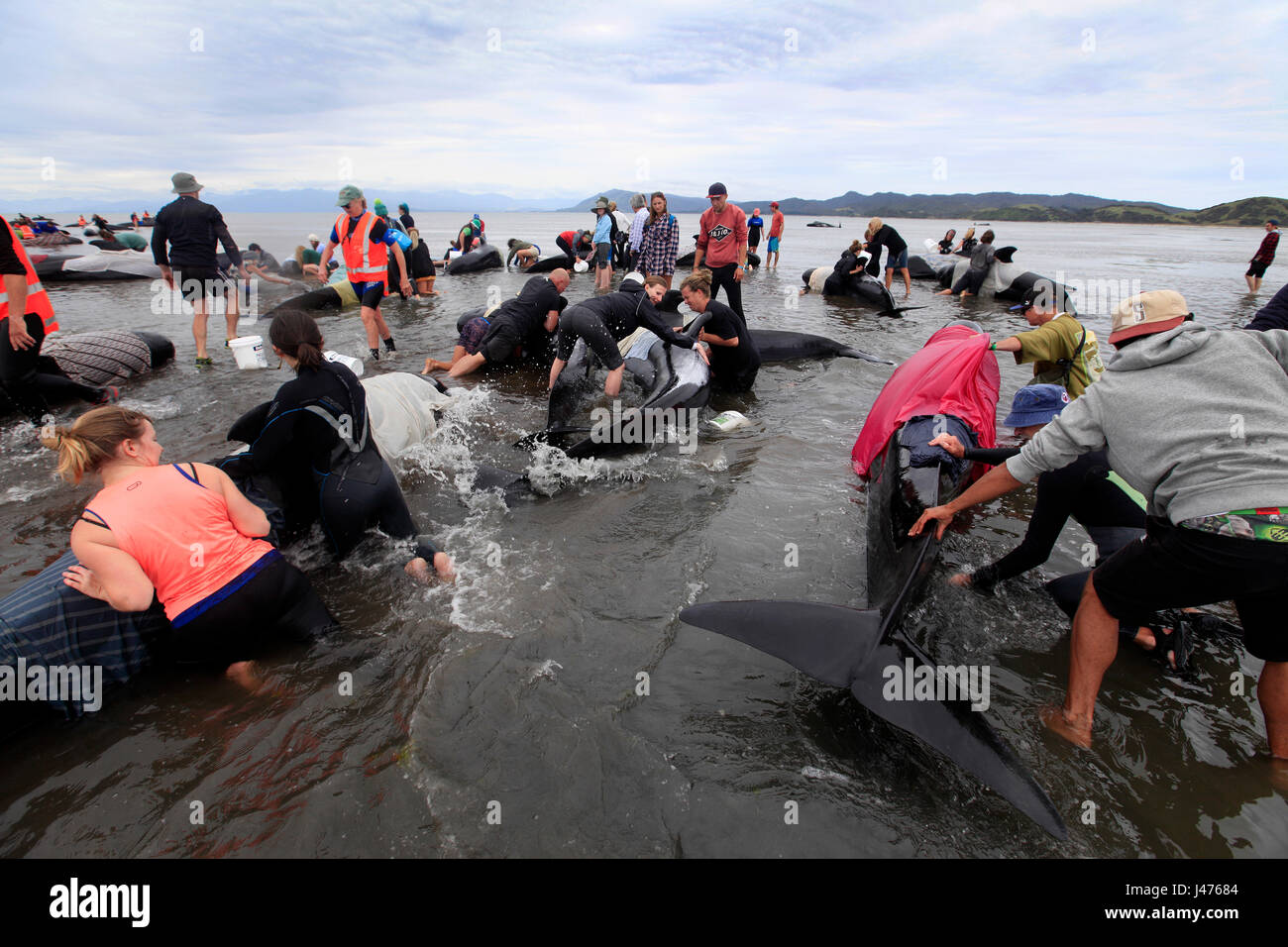 Picture by Tim Cuff - 10 & 11 February 2017  - Mass pilot whale stranding at Farewell Spit, Golden Bay, New - Stock Image