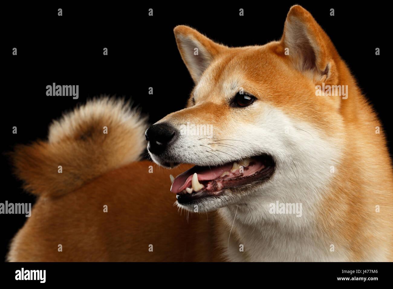 Close Up Pedigreed Shiba Inu Dog Smiling On Isolated Black Background Stock Photo Alamy