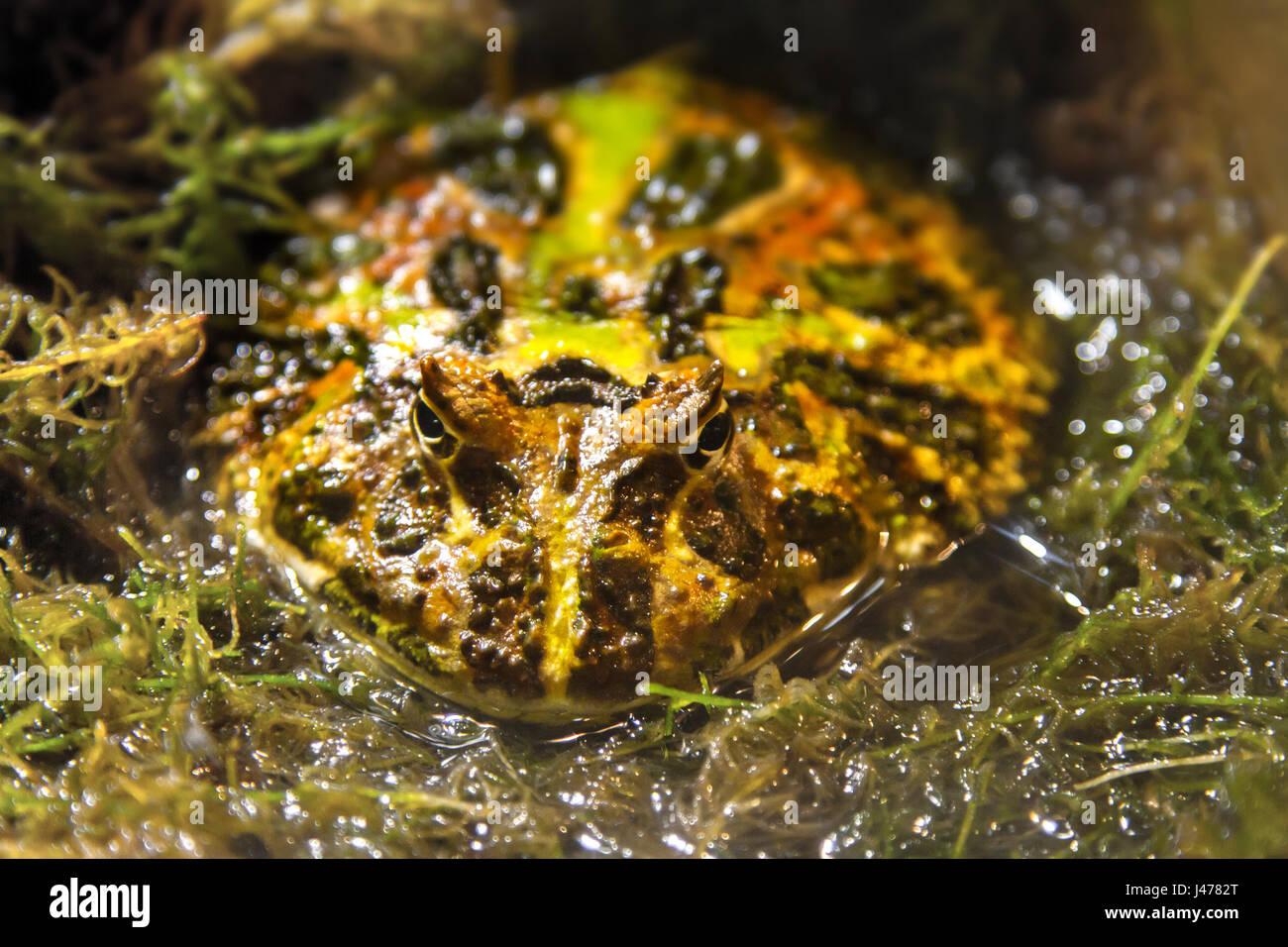 a Image exotic amphibians Brazilian horned toad - Stock Image
