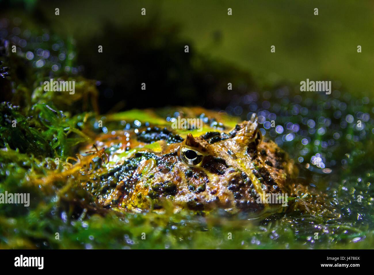 a Image exotic amphibians Brazilian horned toadf - Stock Image