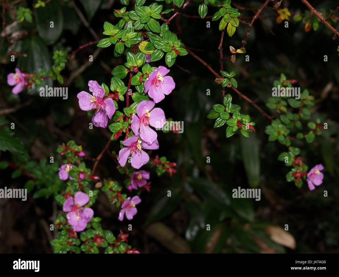 Pink flowers. Monochaetum vulcanicum , Melastomataceae. Costa Rica, Alajuela Province, Poas - Stock Image