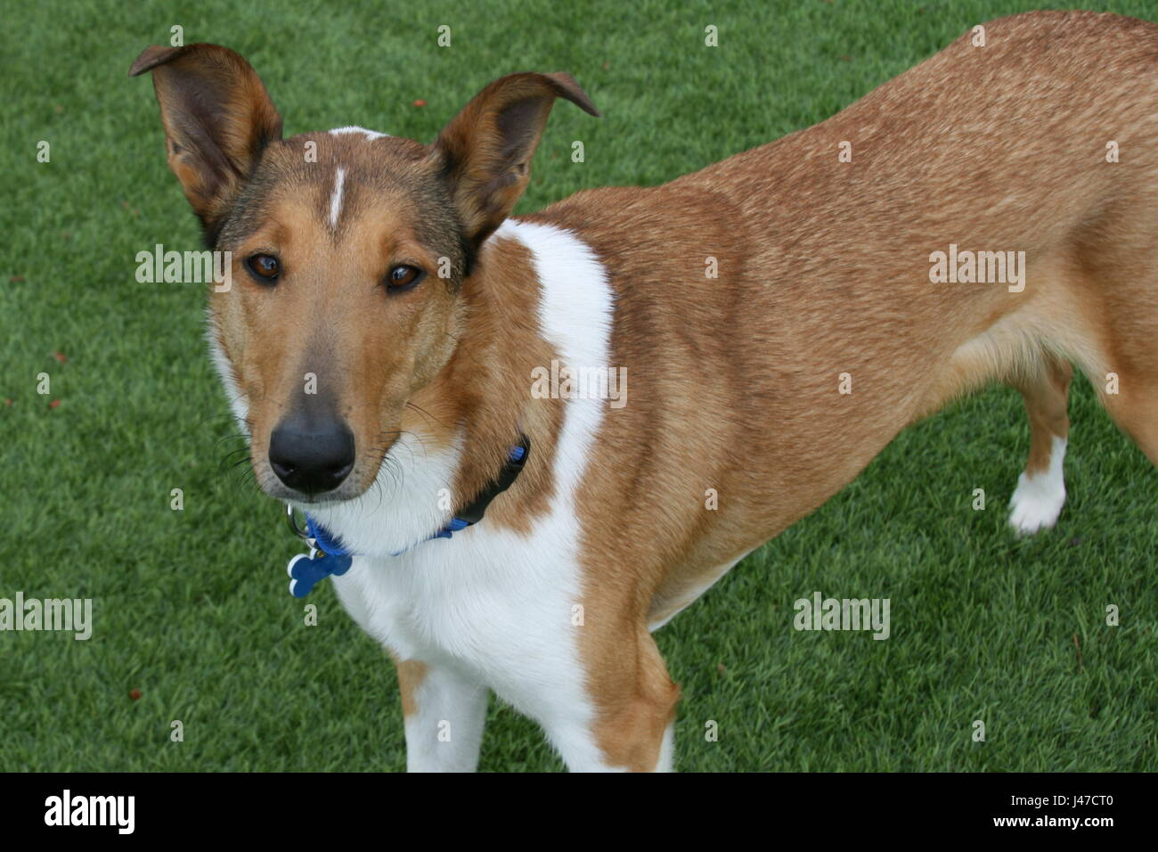 smooth coat collie
