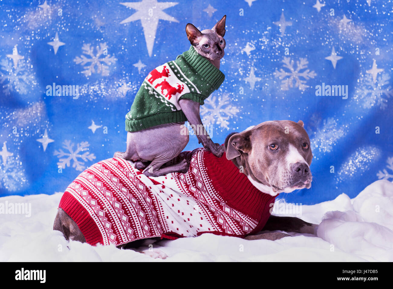 Holiday Portrait Of A Pitbull And A Sphynx Cat In Christmas Sweaters