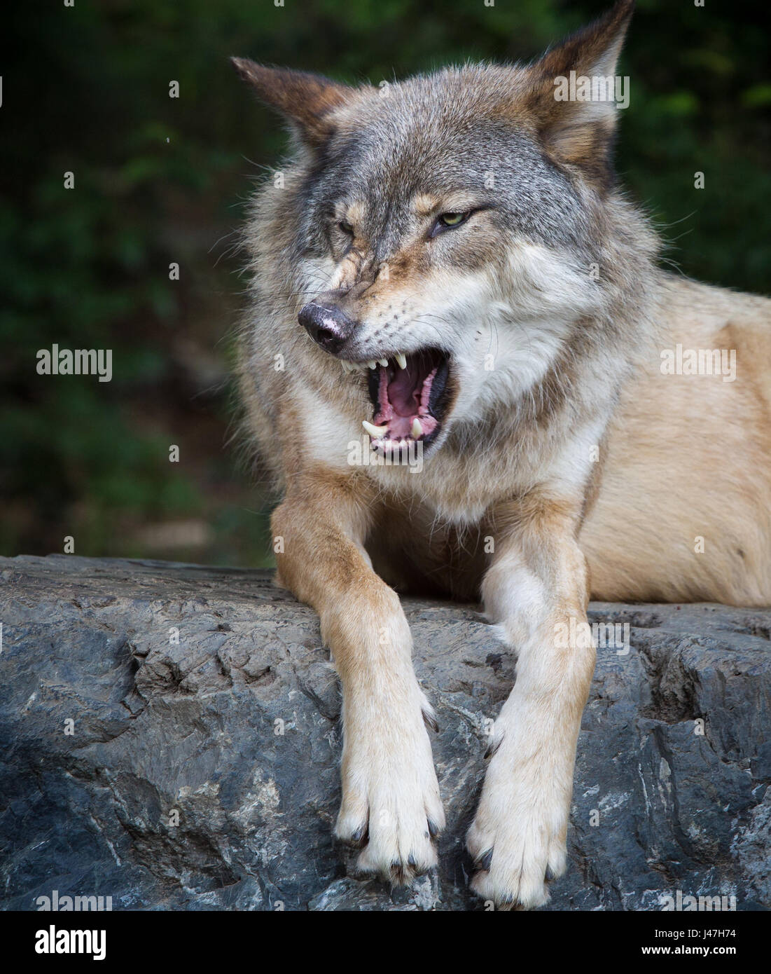 Gray wolf snarls with mouth open - Stock Image