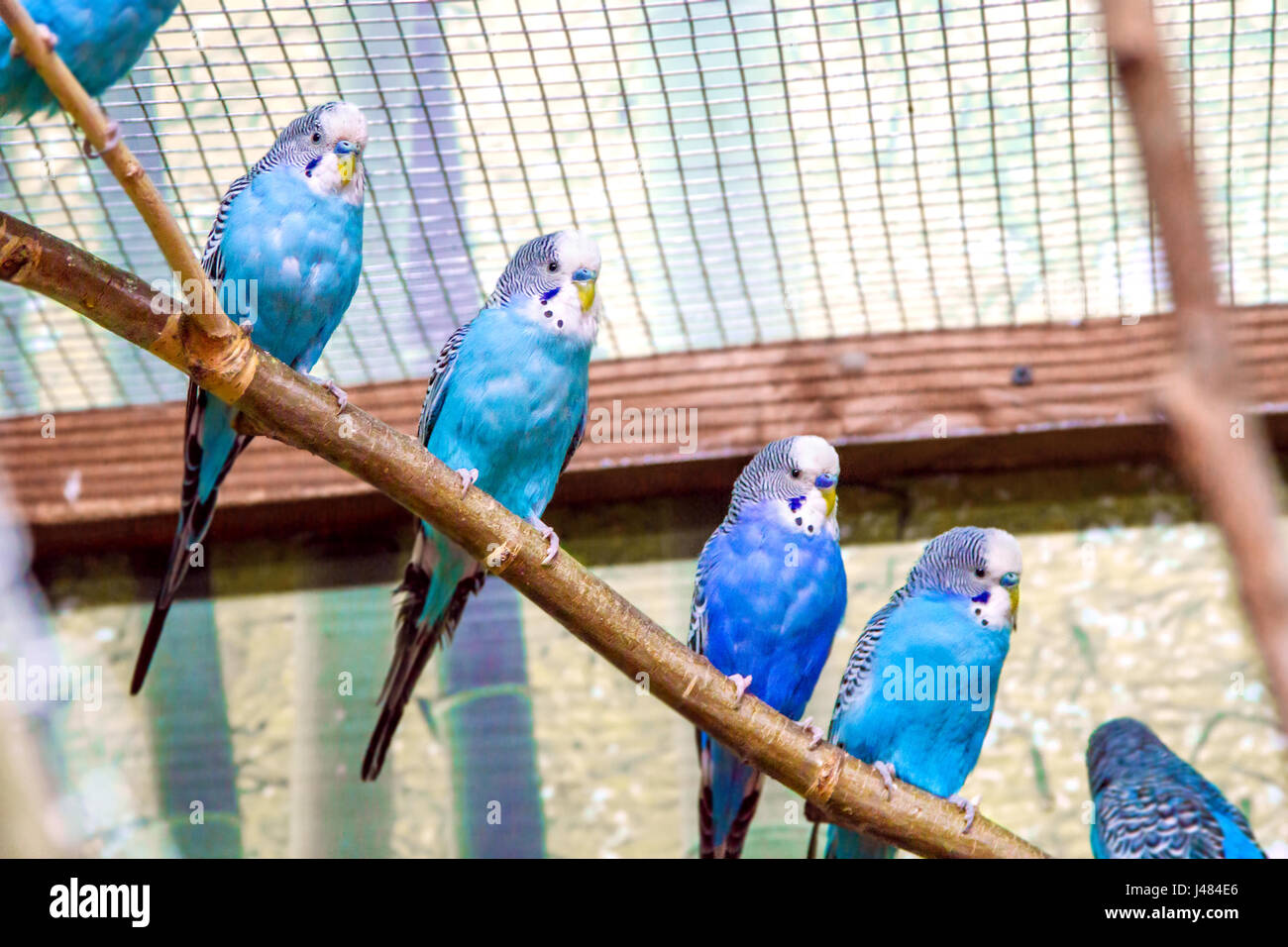 Image blue parrots sitting on a branch in an aviary Stock Photo