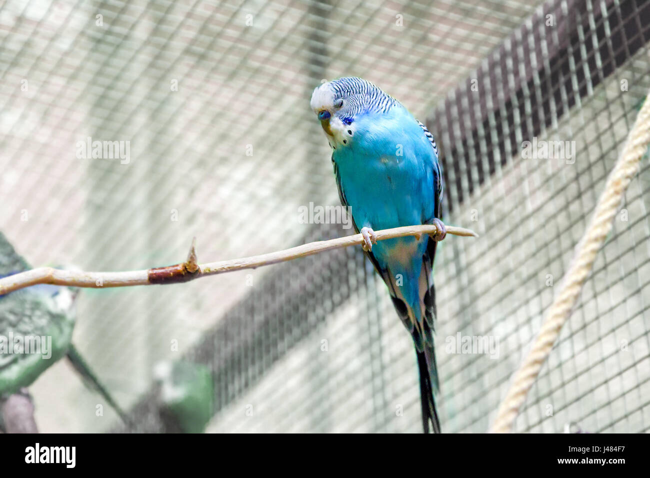 image animal small budgie sleeping on a branch - Stock Image