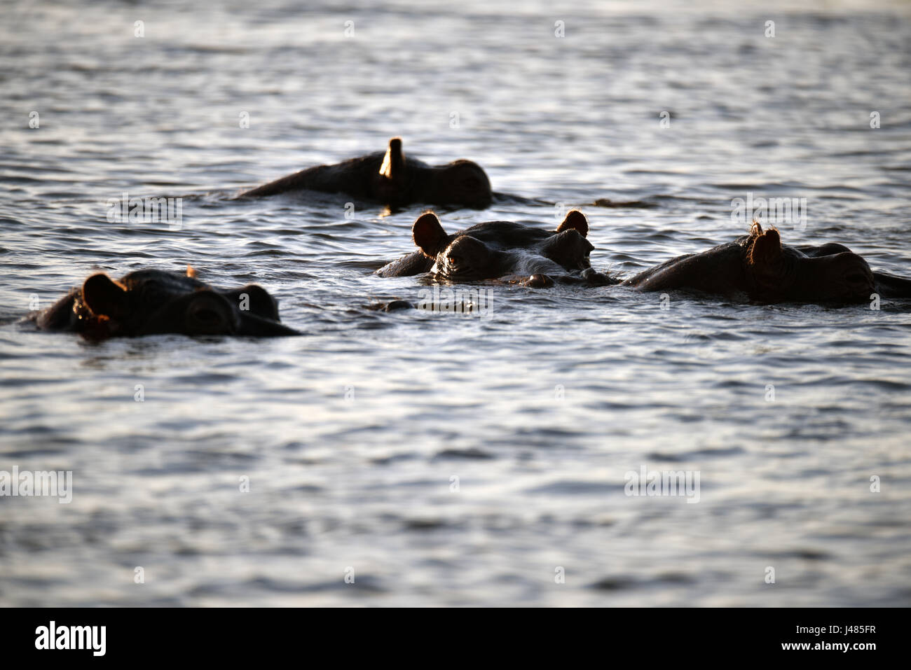 During the day, hippopotami remain mostly submerged underwater, just raising the upper part of their nose, eyes - Stock Image
