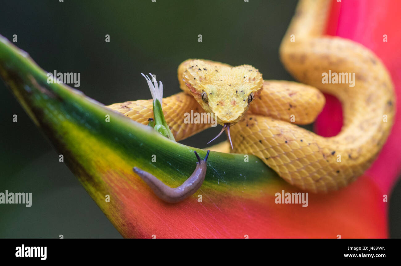 Eyelash viper, Bothriechis schlegelii lying on heliconia flower and sticking his tounge out sniffing on a snail - Stock Image