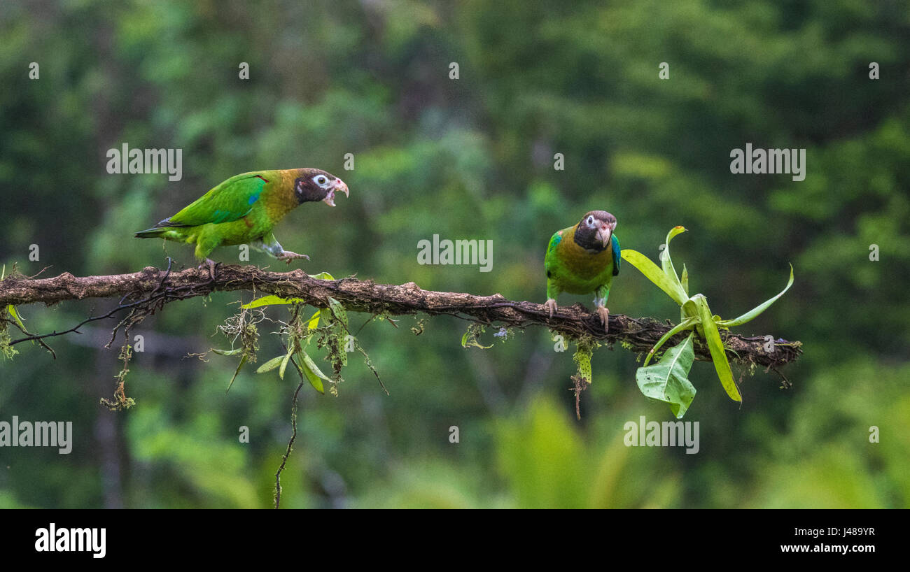 Two Brown-hooded parrot, Pyrilia haematotis, sitting in a tree, one is walking towards the other saying something, - Stock Image