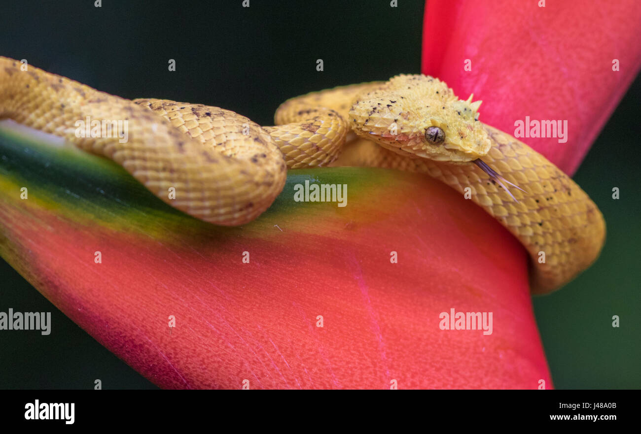 Eyelash viper, Bothriechis schlegelii lying on heliconia flower and sticking his tounge out at Laguna del Lagarto, - Stock Image