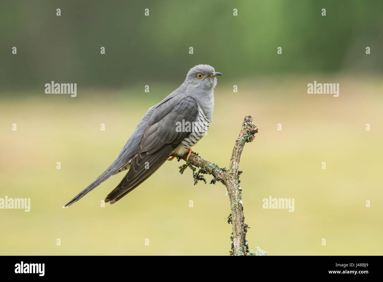 Cuckoo (Cuculus canorus), variously known as Common, European or Eurasian cuckoo. - Stock Image