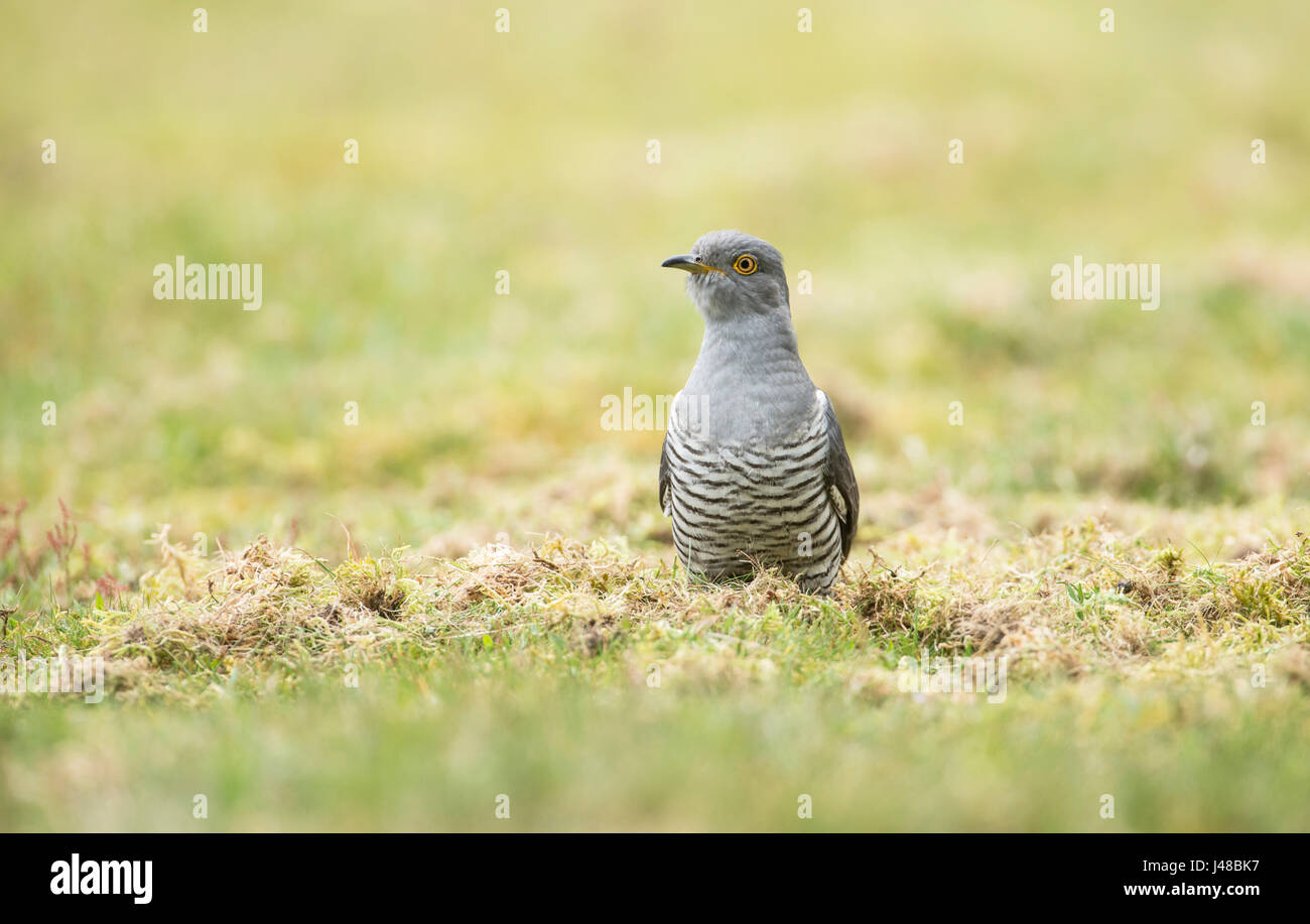 Cuckoo (Cuculus canorus), variously known as Common, European or Eurasian cuckoo. Male foraging for invertebrates - Stock Image