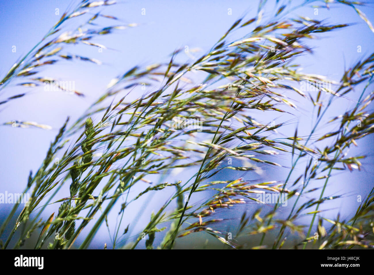 Thin delicate grasses waft in the summer breeze in a field meadow - Stock Image