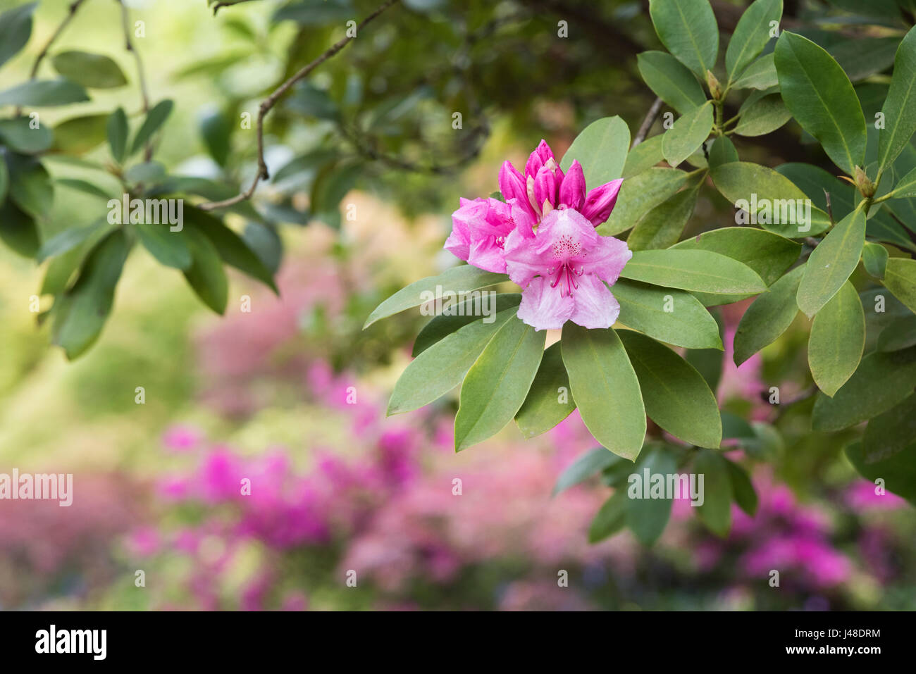 Rhododendron 'Pink pearl' flowering in spring. UK Stock Photo