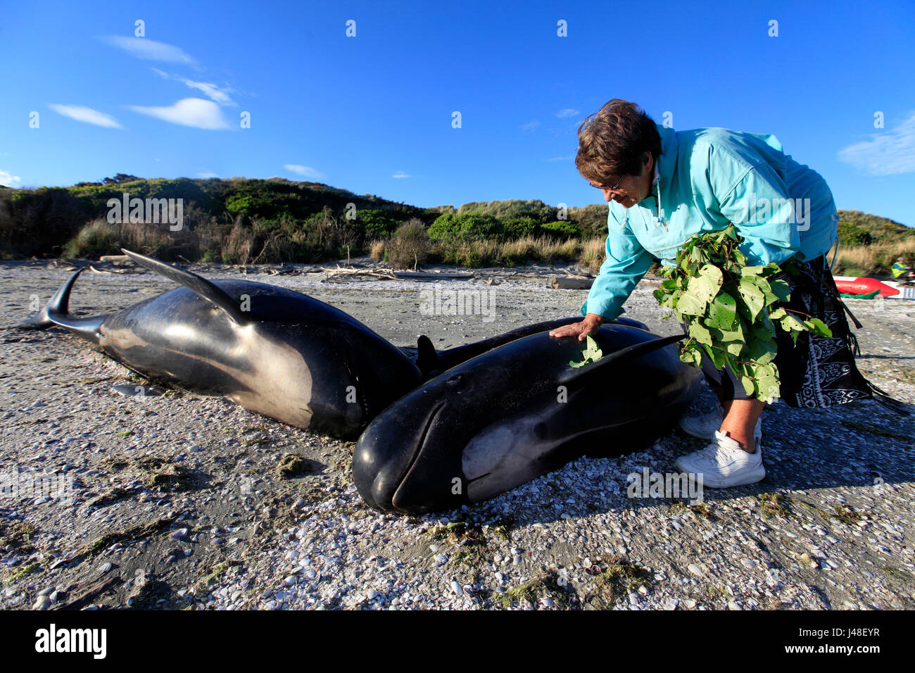 Mass pilot whale stranding at Farewell Spit, Golden Bay, New Zealand: local iwi place kawakawa leaves on each body - Stock Image