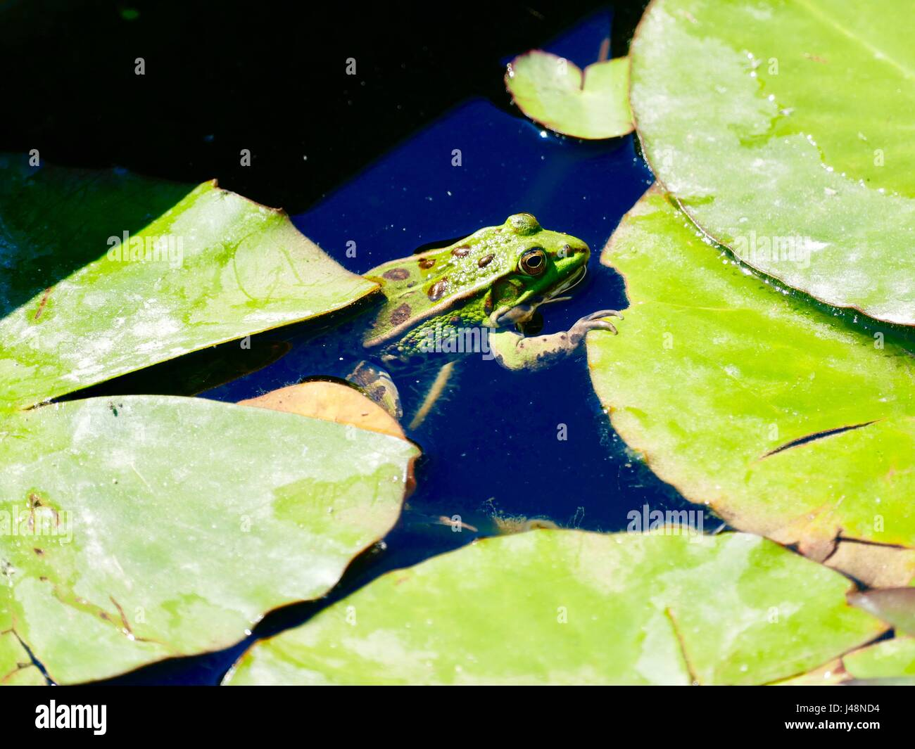 Green European edible frog with claw resting on a lily pad. Paris, France - Stock Image