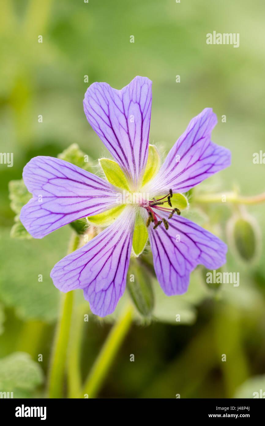 Single flower of the hardy geranium, Geranium renardii, 'Philippe Vapelle'.  The purple veins act as nectar - Stock Image