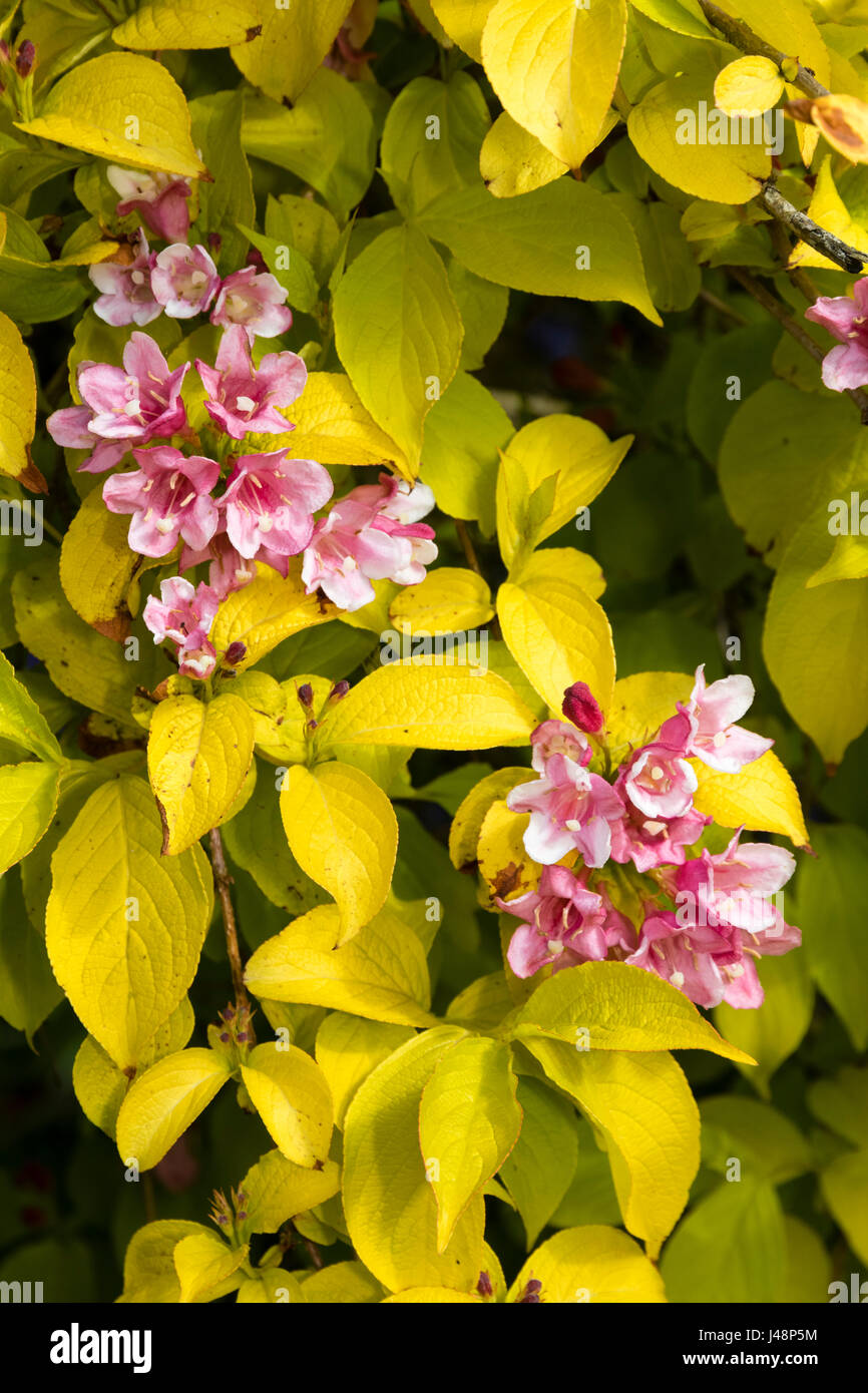 Golden foliage and laste spring pink flowers of the hardy deciduous shrub, Weigela 'Looymansii Aurea' Stock Photo