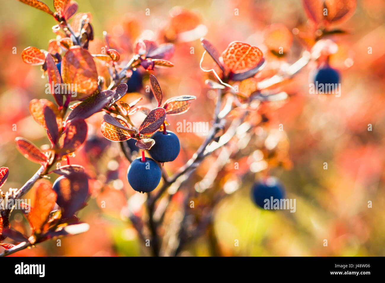 Lowbush Blueberry In Autumn Colors Near The Noatak River, Brooks Range; Alaska, United States Of America - Stock Image